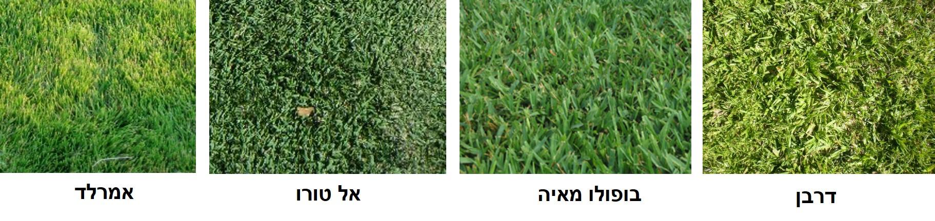 דשאים לשמש מלאה עד חצי יום שמש