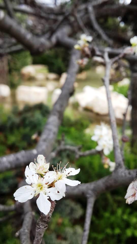 אגב אולי בגן היפני בחודש מרץ
