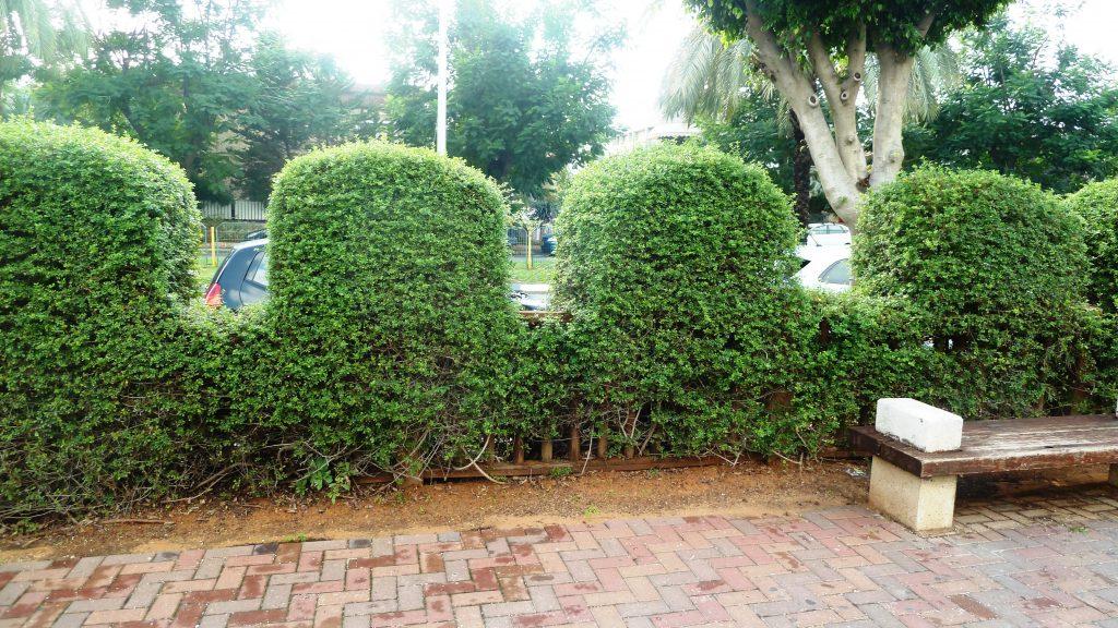 אוג חרוק גדר גזומה כקרונות בגן היפני בחולון
