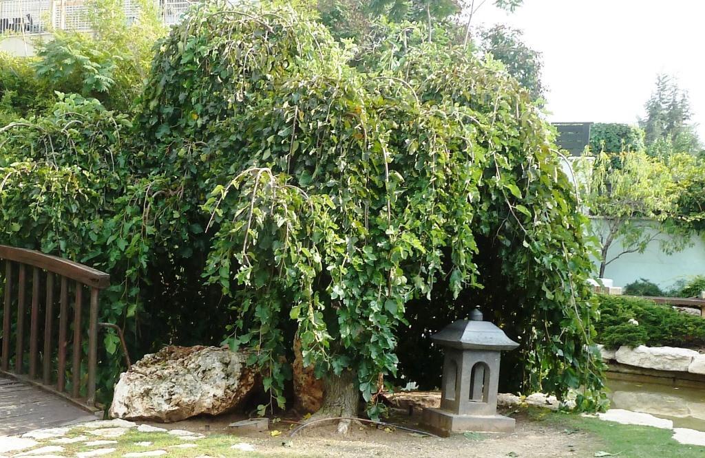 תות בכות בגן היפני בחולון